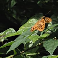 散策路の昆虫たち ミドリヒョウモン  キタキチョウ キボシカミキリ