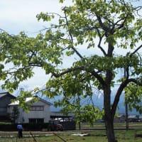 田植えのシーズンへ向かう、柿の葉・ツツジ・コデマリ・・・富山市水橋
