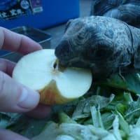 今が旬のりんご