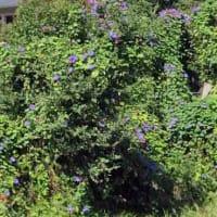 花図鑑140 オーシャンブルーの花盛り、桜の帰り咲き