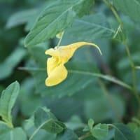 「おはようの花」 キツリフネ 8月