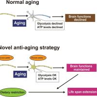 脳への糖入が長寿の鍵?