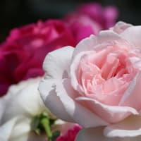 湧永満之記念庭園のバラ園