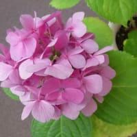 7月のアジサイ日記(7/5,7/19)花後の切り戻し