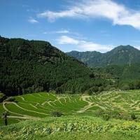 2020.7.2 丸山千枚田に咲くひまわり(熊野市紀和町)