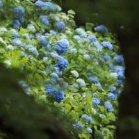 神戸森林植物園の紫陽花
