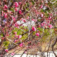 鳥取大学医学部の梅が咲きました