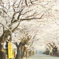 夜の森公園の桜