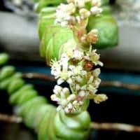 多肉植物「星の王子(ゴーラム)」開花