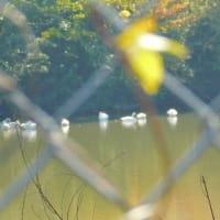 鈴木園の菊花観賞後、西白井白鳥の池まで歩く