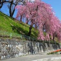 386 お花見の季節