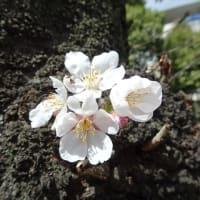 「桜」/江戸川橋公園2020