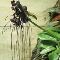 黒紫の花! タッカ・シャトントリエリ の花散歩