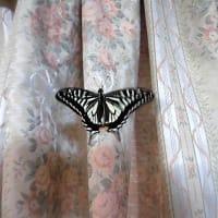 アゲハチョウ羽化、外に出せず(2020/3/28)