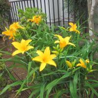 ニッコウキスゲの開花