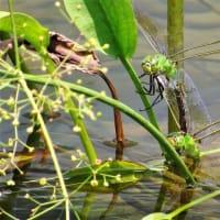 大温室横 の池で珍しい トンボ  ・・・ 新宿御苑
