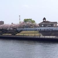 荒川遊園の桜を眺めながらウォーキング・・・