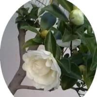 山茶花の花は、焼き芋思い出します♪