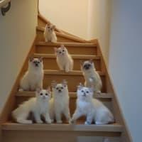 ラグドール子猫の集合写真☆彡