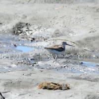 砂浜を走り回る、ソリハシシギ。