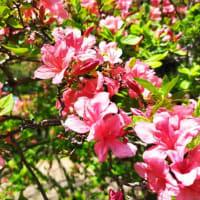 遅咲きの桜咲く三神峯公園