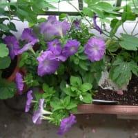 6/12 赤紫のペチュニアを切り戻し