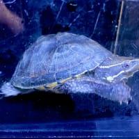 ミシシッピニオイガメ甲長約6cm