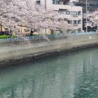 桜が散り始めました