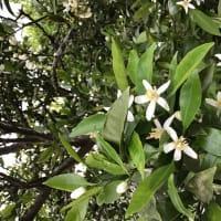 幻日と蜜柑の花
