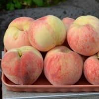 実桃「武井白鳳」の栽培(2) 果実の収獲
