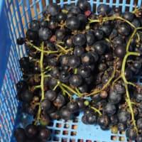 葡萄、栗の収穫