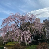横浜山下公園は桜がキレイ