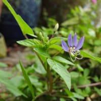 アフリカフウチョウソウ    凛として、迷わず、うつくしく     千葉県市川浦安アスファルト脇植物
