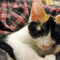 甘えん坊な妹タイプの三毛子猫