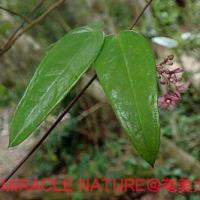 トキワカモメヅルの花