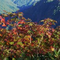 コミネカエデ 紅葉のグラディーション