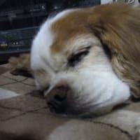 まだ逝くな愛犬プリン