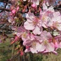 江戸川沿いの河津桜、カモ、フラサバソウ、オランダミミナグサ