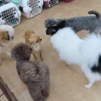 幼稚園体験にきてくれたチワワの【サニーちゃん】 犬のしつけ教室@アロハドギー