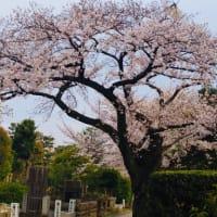 桜の季節まっ盛りですね!
