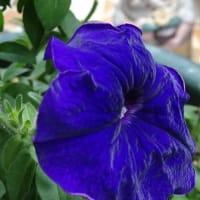 SHOUT!ツアー14番NHKホール①に紫星大輪で咲いて