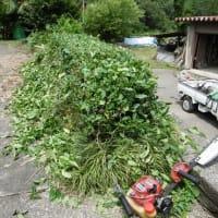 山の家のお茶の木・・・一番茶が伸び放題・・・二番茶に向け、刈り落とし。スッキリしました。