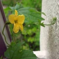 6月のゴーヤ日記 (6/2、6/4、6/5、6/8、6/12)雌雄の花が咲く