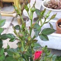 蕾いっぱいの、赤いミニバラ