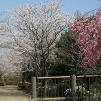 三田の桜・・・平谷川公園