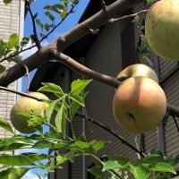 林檎と樹木希林さん