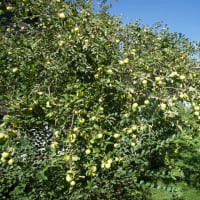 ラズベリーとりんごの収穫