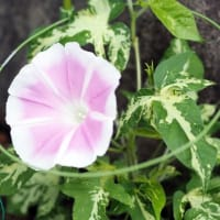 Barbara Anaさんのトリオ完成 ~ 2年目の植物たち