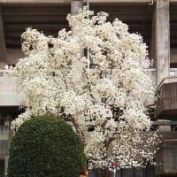 何が出るやら玉手箱           今が満開の コブシの白い花