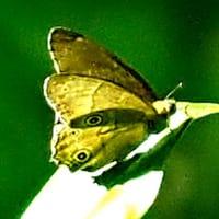 散策路の蝶・スジグロシロチョウ・キタキチョウ・オオチャバネセセリ・イチモンジセセリ・ルリシジミ・コミスジ・イチモンジチョウ・ヒメウラナジャノメ・ヒカゲチョウ